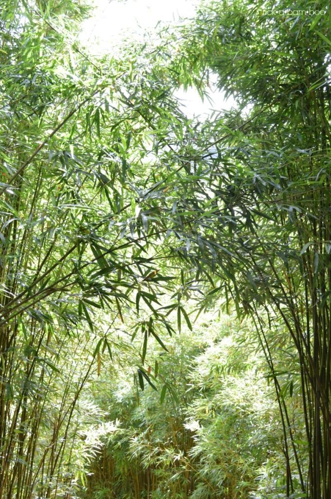 Bamboo Forest | rickabamboo.com | #maui #hawaii